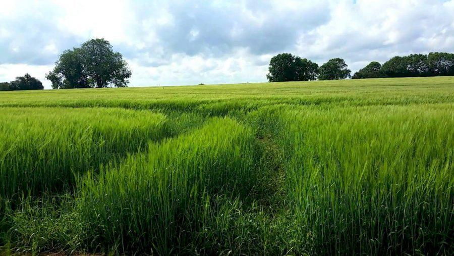A-British-Countryside-Walk-Market-Welford-Wheat-Field