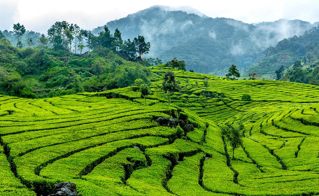 15-experiences-you-must-have-in-bandung-indonesia-tea-plantation-2